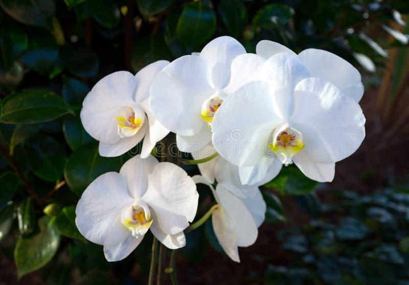白色开花的兰花在家庭绿色庭院里 免版税库存照片
