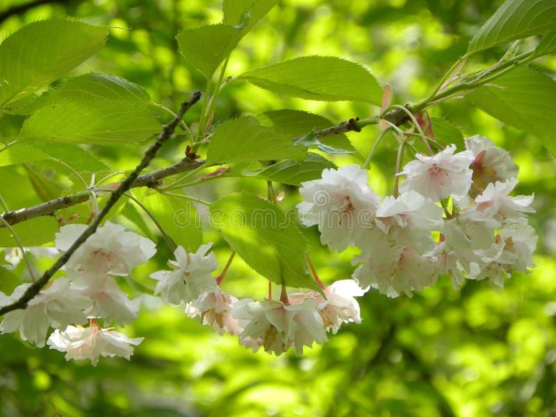 白色开花的春天花 库存照片