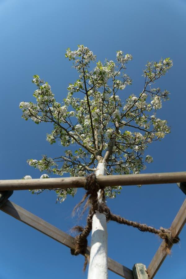 白色开花的树绘与石灰油漆日落大道 免版税库存照片