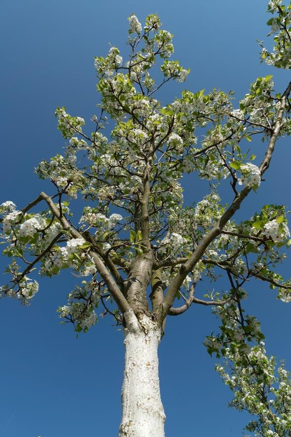 白色开花的树绘与石灰油漆日落大道 图库摄影