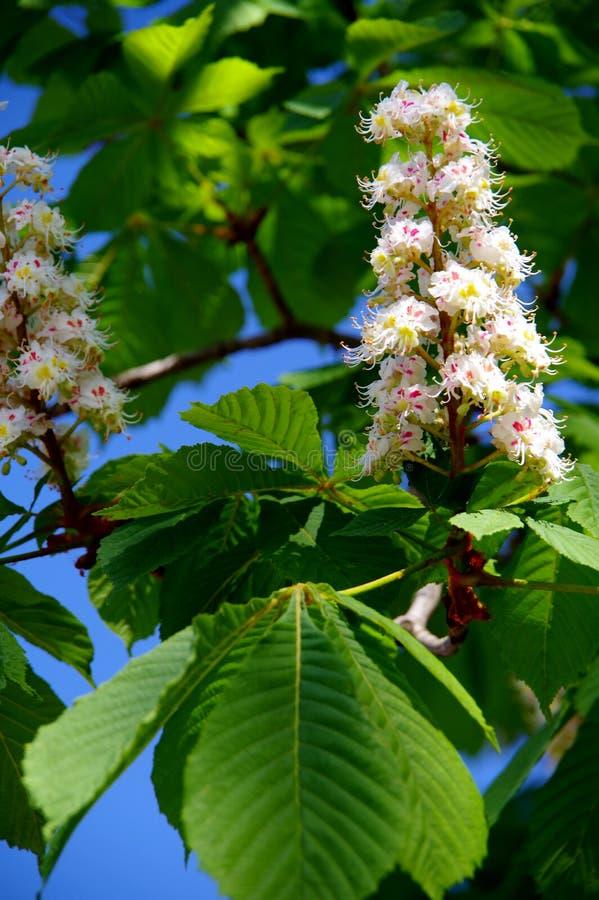 白色开花的欧洲七叶树 库存图片
