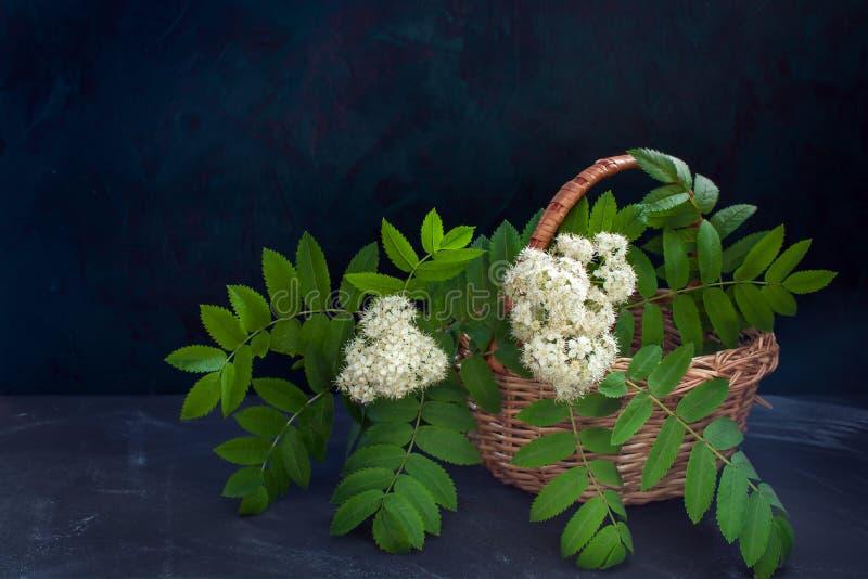 白色开花的花揪分支在柳条筐的在黑暗的背景 库存照片