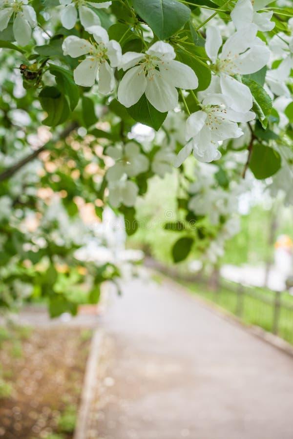 白色开花的苹果树分支在边路的 免版税库存照片