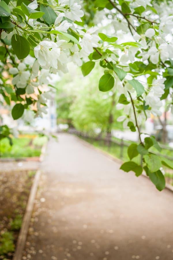 白色开花的苹果树分支垂悬在小径 免版税库存照片