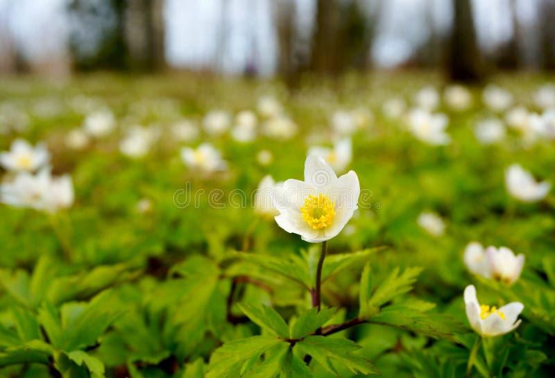 白色开花的银莲花属在森林里 图库摄影