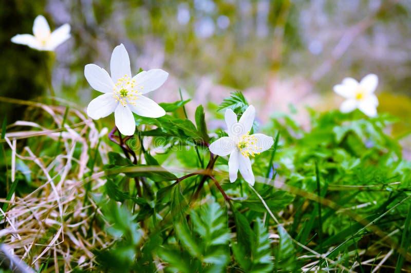 白色开花的银莲花属在森林里 免版税库存图片