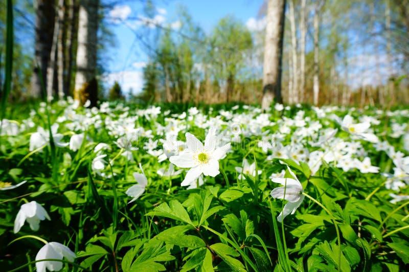 白色开花的银莲花属在森林里 免版税图库摄影
