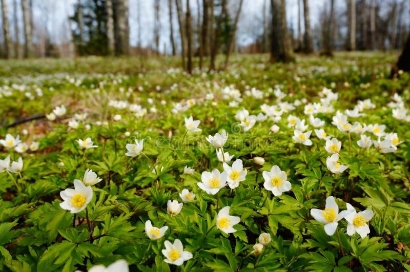 白色开花的银莲花属迷离背景  图库摄影