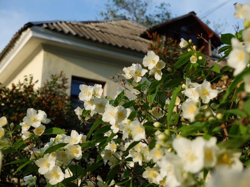 白色开花的chubushnik 有一个美丽的庭院的议院 免版税库存照片