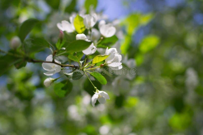 白色开花苹果树和绿色叶子 库存图片