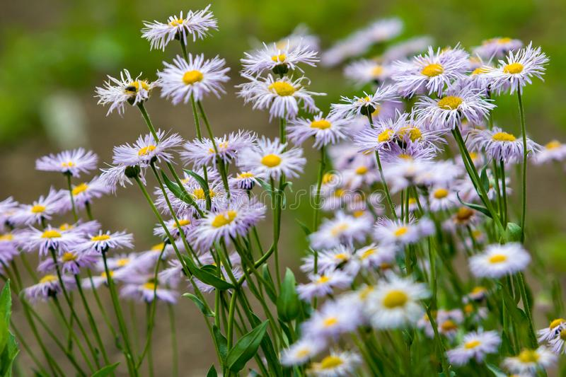 白色很多的夏天与翠菊花家庭的紫色野花象雏菊的在被弄脏的绿色背景 库存照片