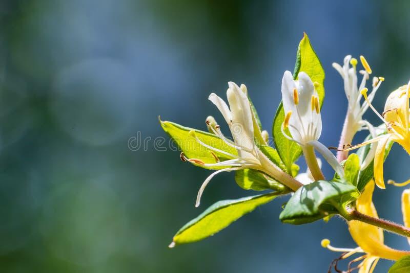 白色忍冬属植物忍冬属caprifolium花的关闭;绿色,模糊的背景 免版税库存图片