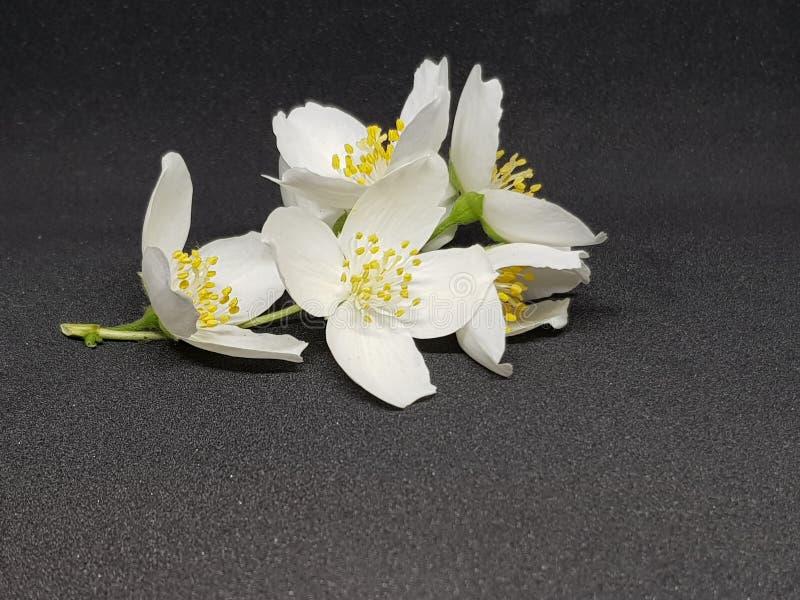 白色惊人的开花的茉莉花花 库存照片