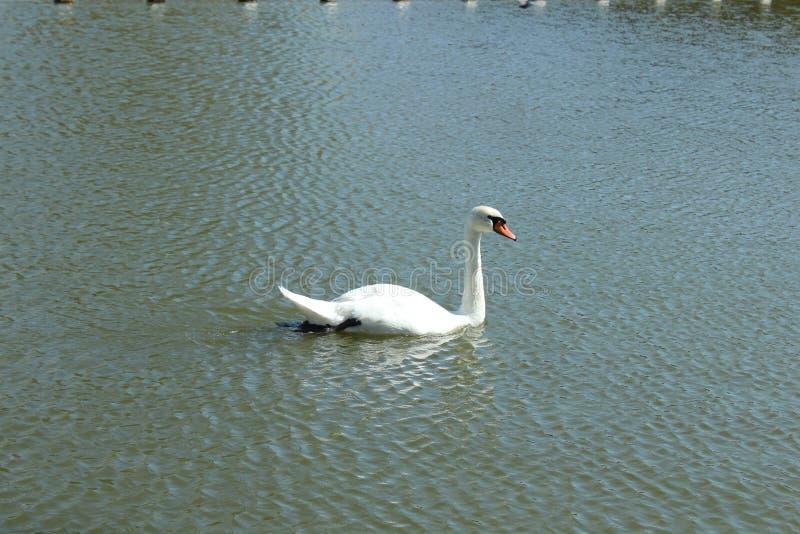 白色成人天鹅在湖温文地游泳 免版税库存图片