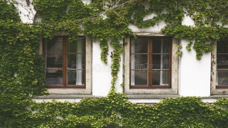 白色房子有老窗口的和盖用葡萄叶子 免版税库存图片