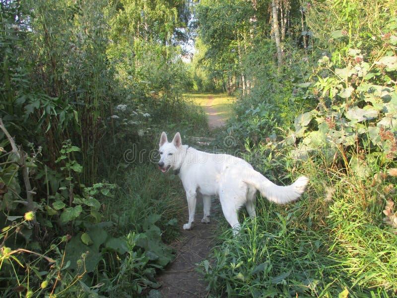 白色护羊狗在森林里 图库摄影