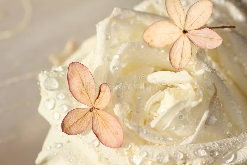 白色新鲜上升了与露滴和八仙花属开花 库存图片