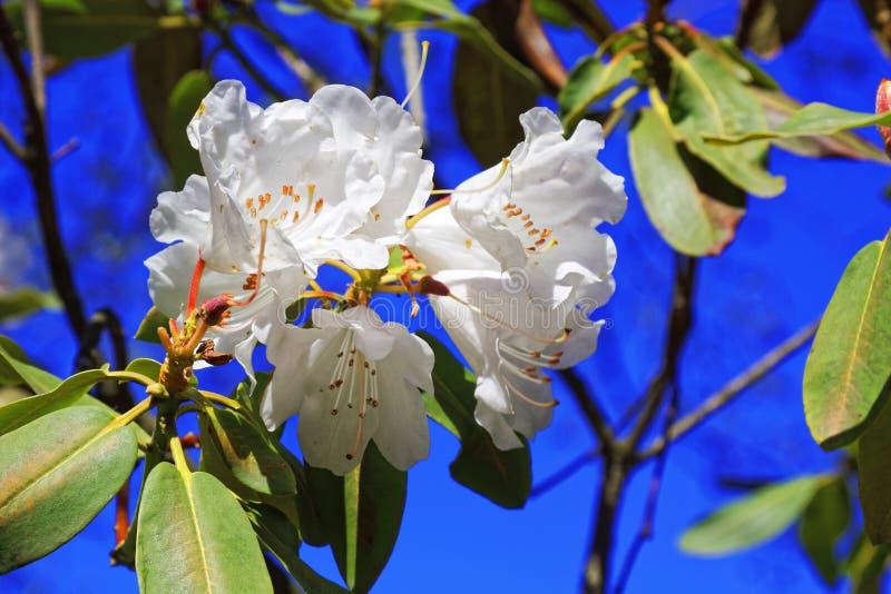 白色日语佐仓花  春天樱花在植物园里 免版税图库摄影