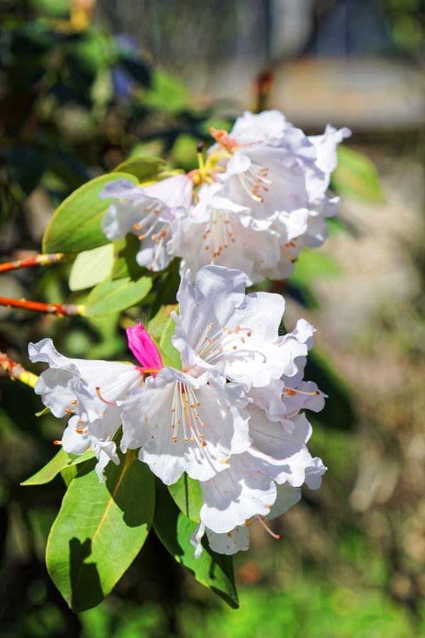 白色日语佐仓花  春天樱花在植物园里 库存照片