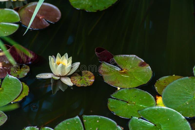 白色星莲属或荷花与黄色心脏花和绿色叶子在水中与平静的反射在庭院池塘,特写镜头 免版税库存图片