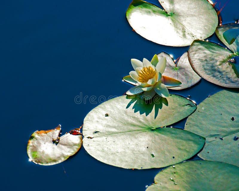 白色星莲属晨曲在叶子中 库存图片