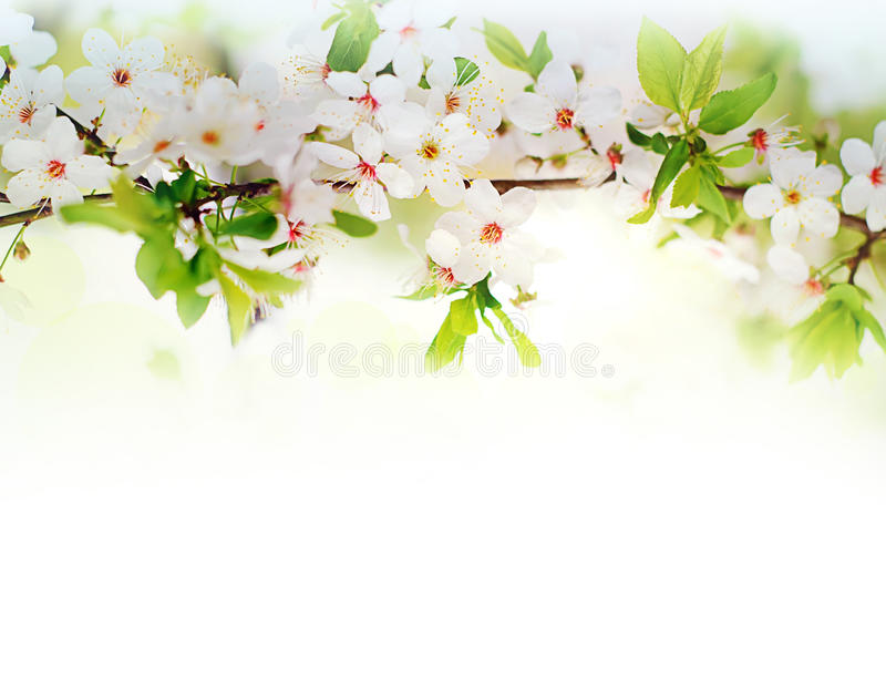 在树枝的白色春天花 库存图片