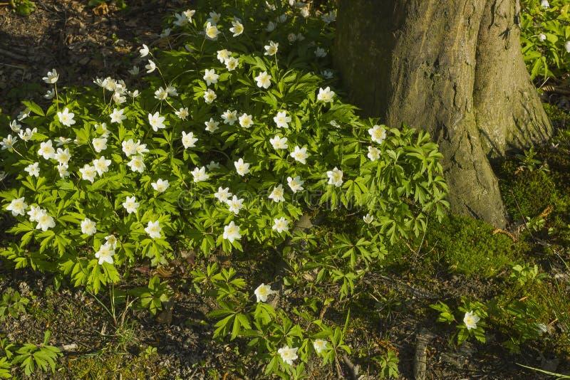 白色春天森林在树附近开花银莲花属nemorosa 免版税库存照片