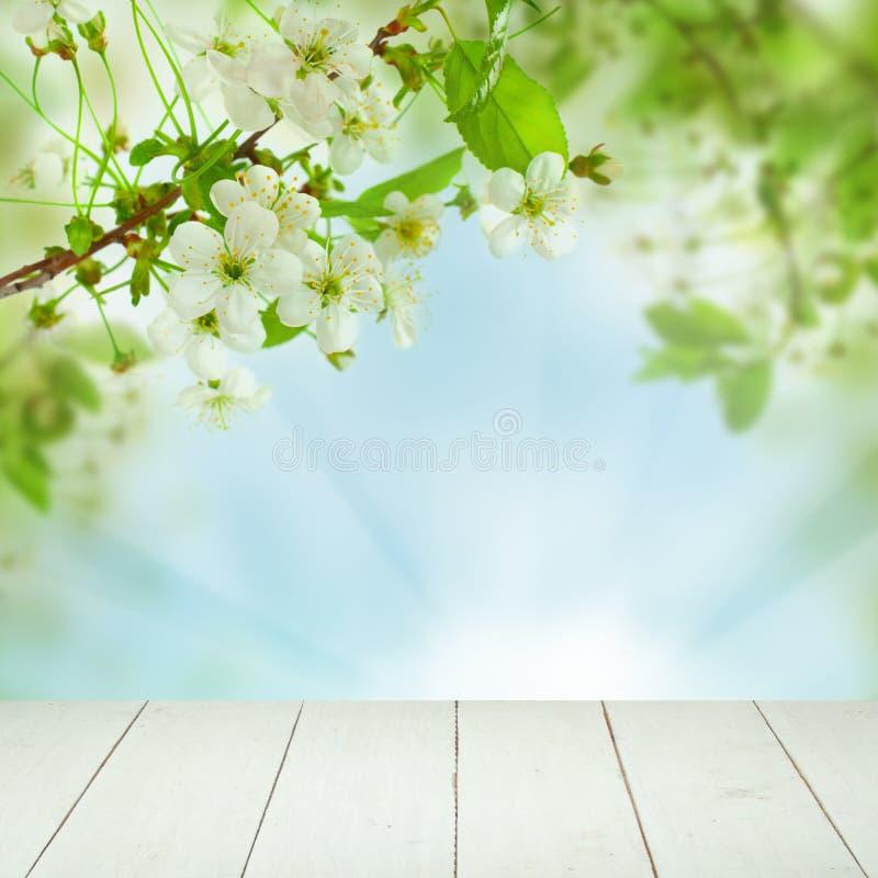 白色春天樱桃树花,绿色叶子 免版税库存照片