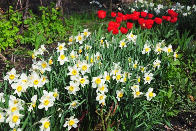 白色春天水仙开花与红色郁金香花床 亦称水仙花黄水仙, daffadowndilly 库存照片