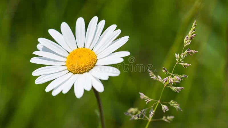 白色春白菊和草小尖峰在春天草甸 Leucanthemum vulgare 免版税库存图片