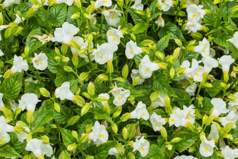 白色月亮Torenia花在庭院里 免版税库存图片
