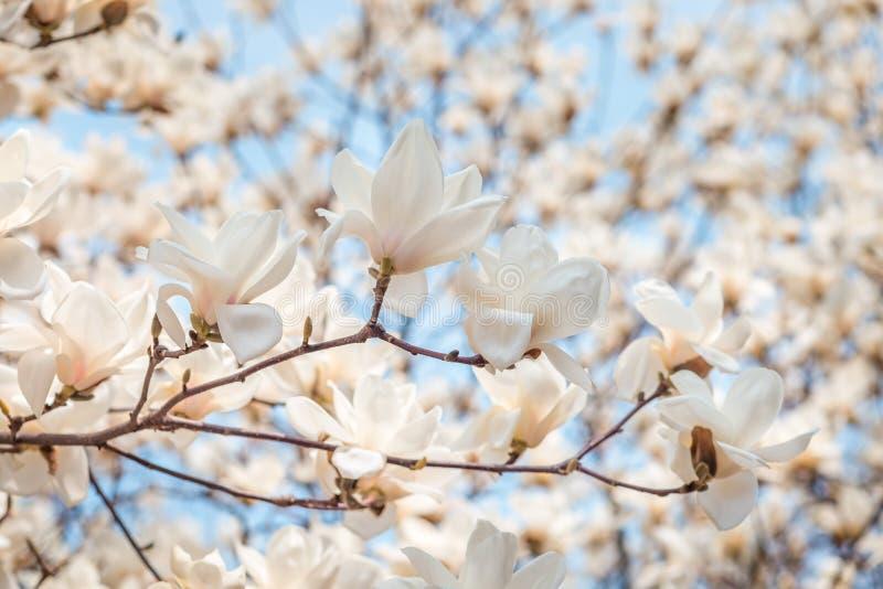 白色木兰开花在4月,在蓝天背景,韩国的分支 免版税库存图片