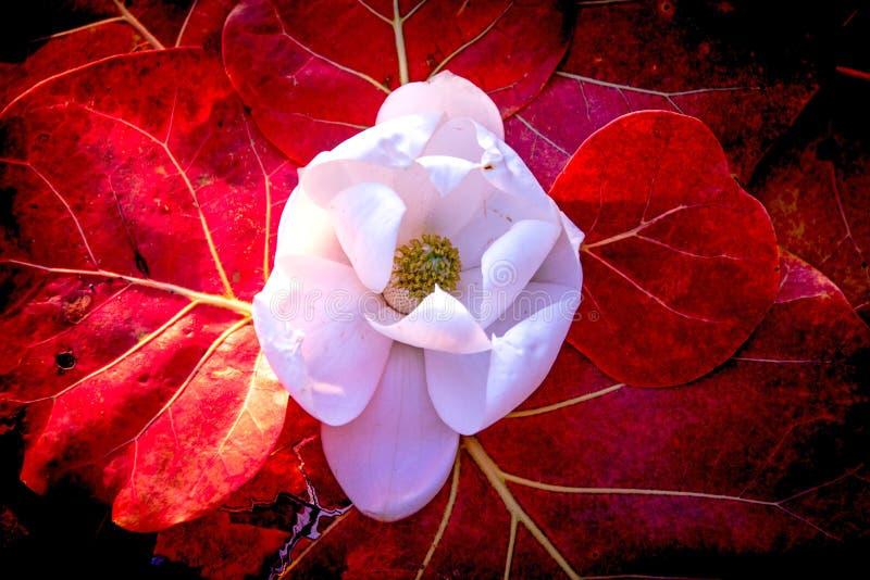白色木兰花红海葡萄叶子 免版税库存照片