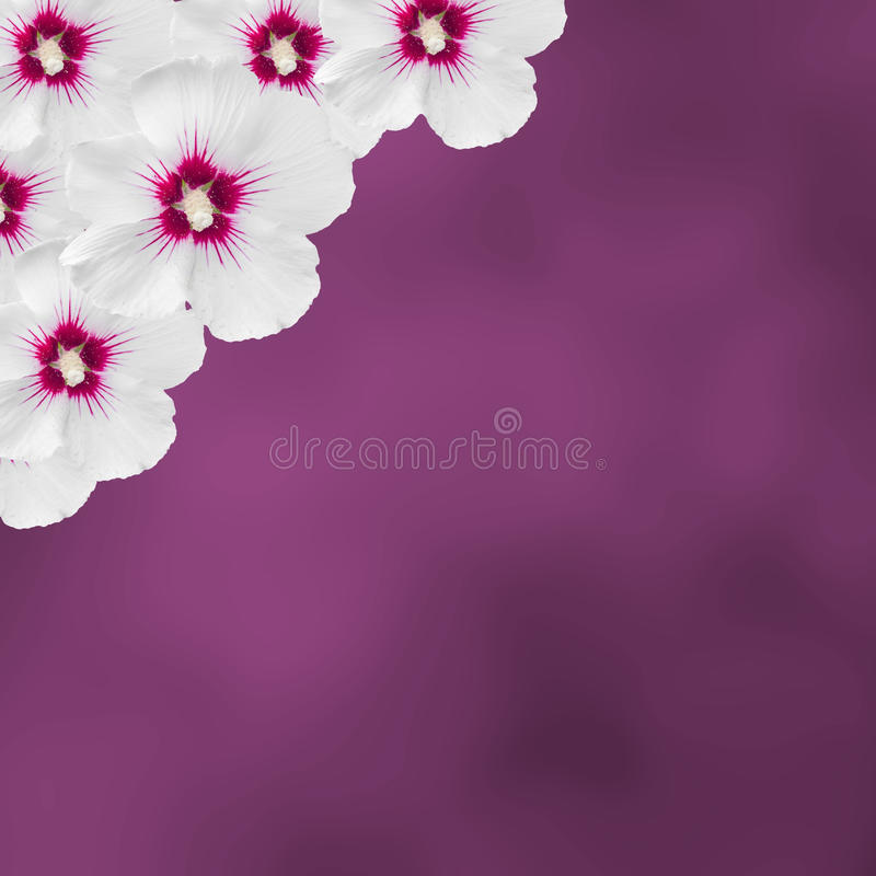 白色木槿开花,木槿罗莎sinensis,木槿汉语,叫作蜀葵,淡紫色纹理背景,关闭  免版税图库摄影