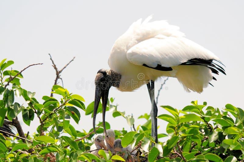 白色木鹳在德尔雷比奇,南佛罗里达 免版税库存照片