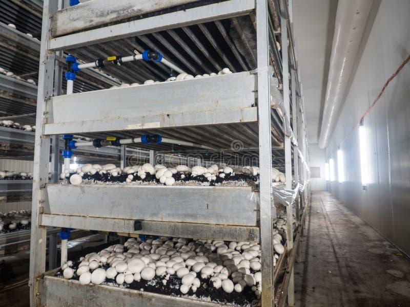 白色未张开的蘑菇伞菌属的耕种在收获的农田的 库存照片