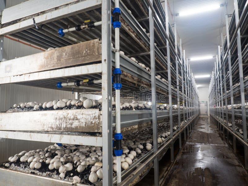白色未张开的蘑菇伞菌属的耕种在收获的农田的 免版税图库摄影