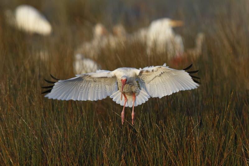 白色朱鹭着陆在沼泽-梅里特海岛野生生物保护区 图库摄影