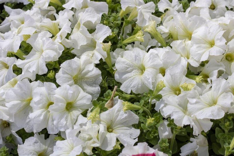 白色杂种喇叭花植物 免版税库存照片