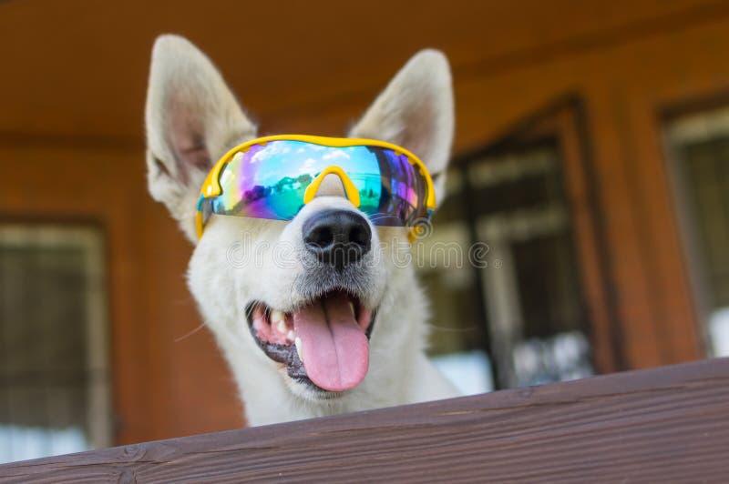 白色杂种狗画象在变色蜥蜴太阳镜的 免版税库存图片