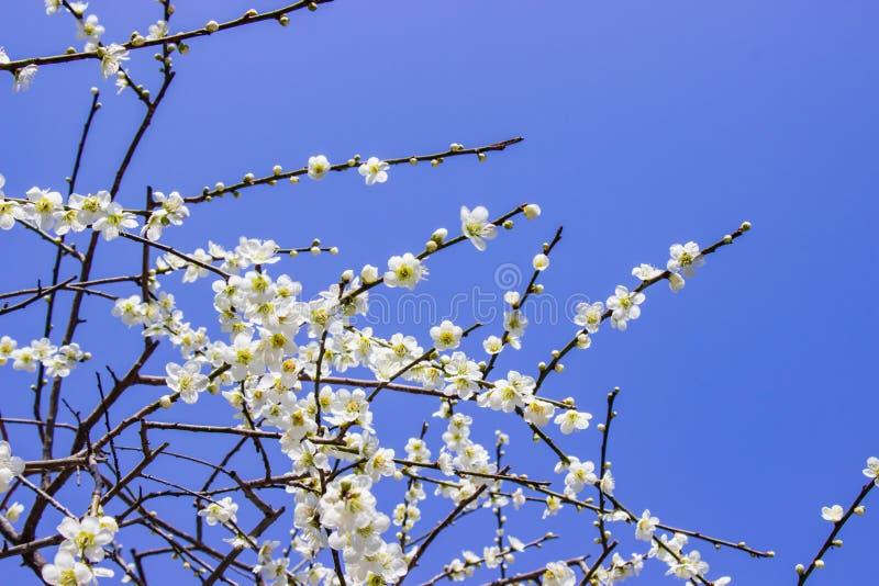 白色李子明亮开花和的蓝天 免版税库存照片