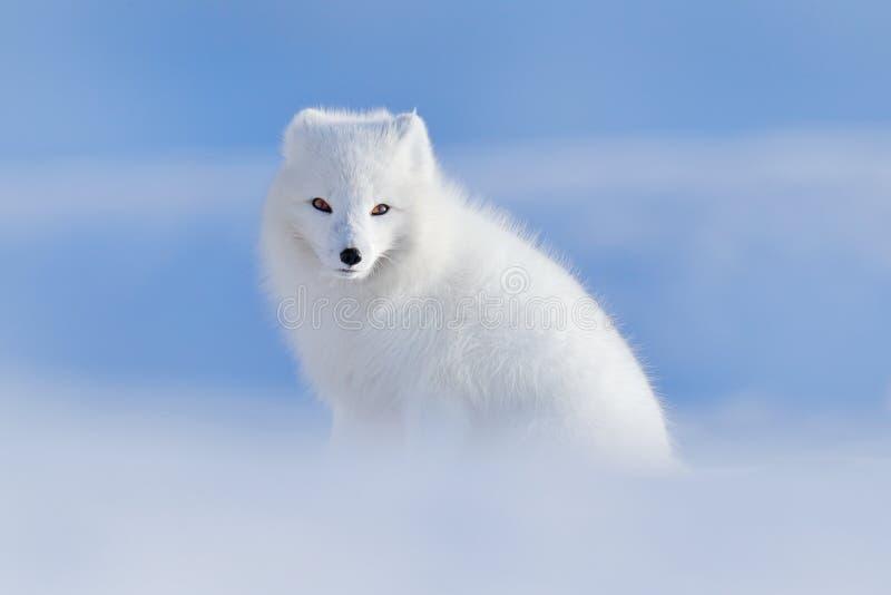白色极性狐狸在栖所,冬天风景,斯瓦尔巴特群岛,挪威 在雪的美丽的动物 坐的狐狸 野生生物行动场面从 库存照片