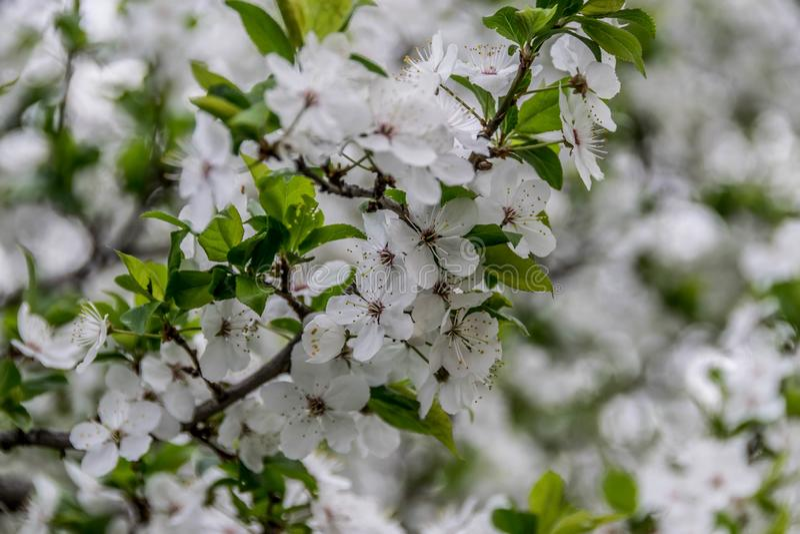 白色果树绽放在4月 免版税库存照片