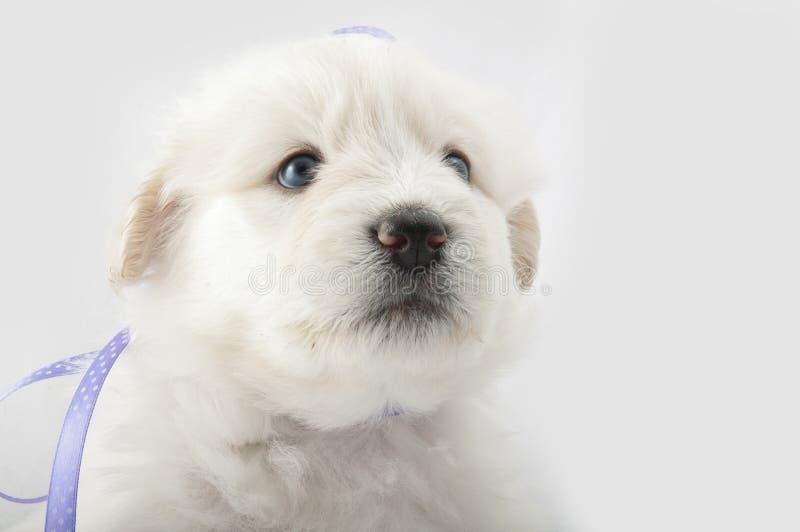 白色枪口小狗 库存照片