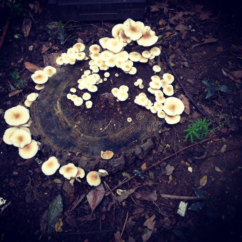 白色根真菌 库存图片