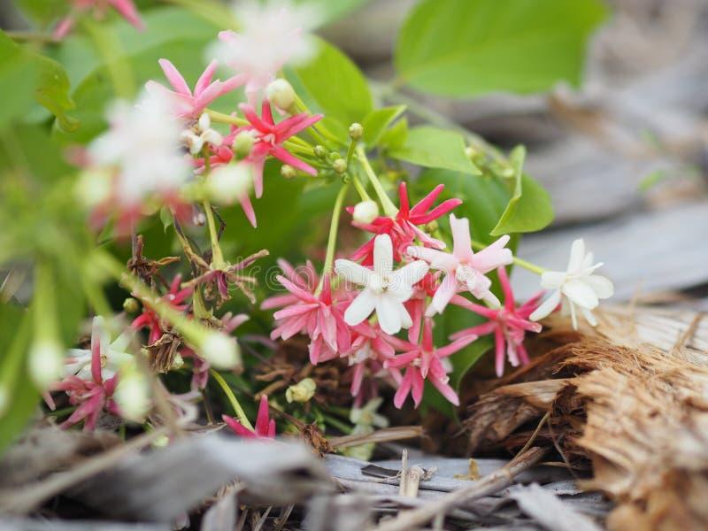 白色桃红色红色花Combretum indicum仰光爬行物中国蜂蜜在叶子弄脏的干香蕉哺乳Drunen水手滑行 免版税库存图片