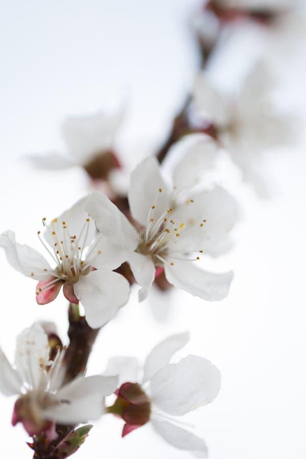 白色梨开花在白色背景的特写镜头 免版税库存图片