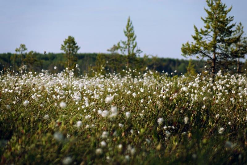 白色棉花花和沼泽的看法 ?? 免版税图库摄影