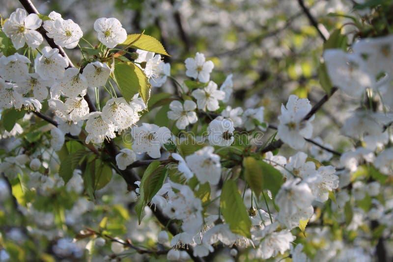 白色樱桃帽子在春天 库存图片