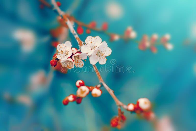 白色樱桃树花在分支在春天开花 库存图片